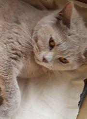 BKH Katze 4 Jahre alt