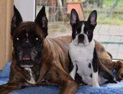 Boston Terrier zu HauseFamilie