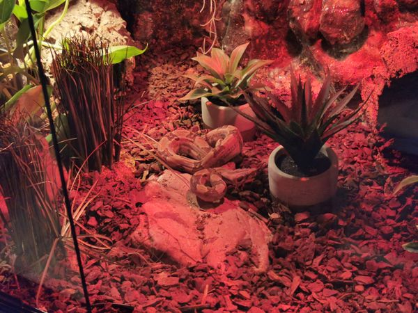 Boa constrictor Hog Island Männchen