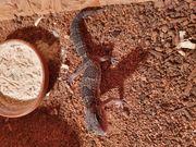 Leopardgecko auf weibchen inkubiert