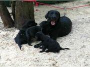 Reinrassige Labrador Welpen mit Ahnentafel
