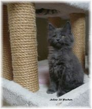 Maine Coon Kitten blue-solid