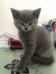 Süßes BKH Kätzchen