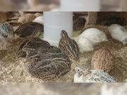 Wachtel Wachteln Hühner Straussen Nandu