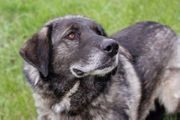 KIMBO - Herdenschutzhund Mix - Er ist