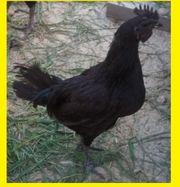 Ayam Cemany Hähne