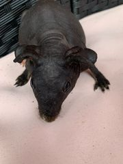 Skinnypig Skinny Pig Meerschweinchen männlich
