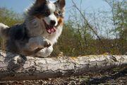 DECKRÜDE Australian Shepherd Aussie - Blue Merle