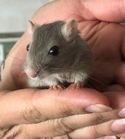 Rennmäuse Mäuse Wüstenrennmaus