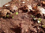Griechische LandschildkrötenGriechische Landschildkröten
