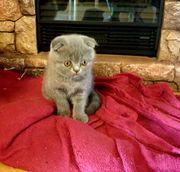 Britisch Kurzhaar Babykatze