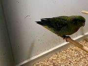Katharinasittich Jungvögel in grün und