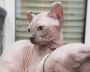 Sphynx Elf Kitten