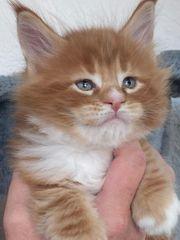 Maine Coon Kitten reinrassig mit