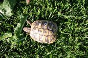 griechische Landschildkröte 3 Jahre alt