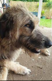 Irish wolfhound irischer Wolfshund Hündin