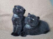 2 schwarzen Faltohrkatzen Jungen Black