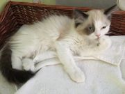 Ragdoll -Neva Kitten möchten ausziehen