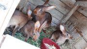 Hasen Hasenkaninchen