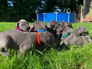 Deutsche Doggenwelpen in Blau