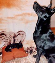 holländische schäferhund welpen