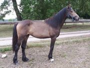 Schicke Warmblut x Irish Cob