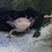 Axolotl Eier Axanthisch