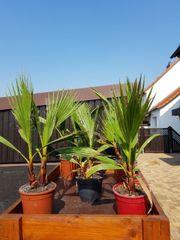 Winterharte Palme Washingtona robusta 40cm