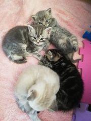 2 Britische Kätzchen Mädchen auf