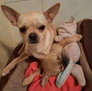 Reinrassiger Chihuahua Deckrüde KEIN VERKAUF