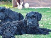 Russischer Terrier Riesenschnauzer
