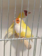 Gouldamadinen Paar in gelb