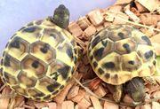griechische Landschildkröten Testudo h boettgeri