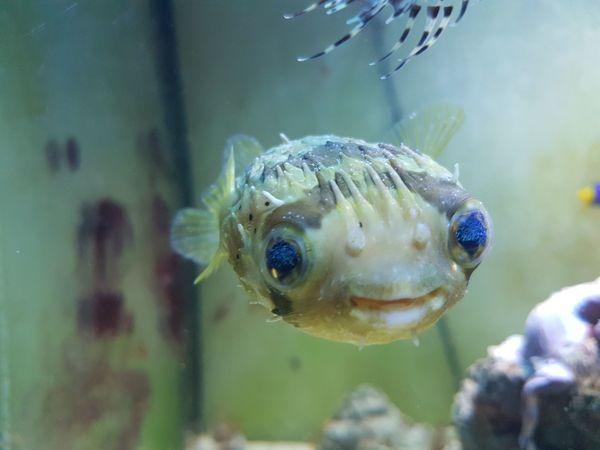 Kugelfisch sucht dringend neues Zuhause