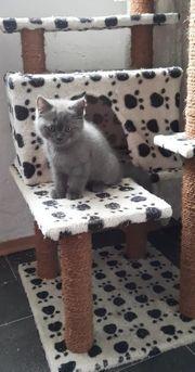 Scottish Fold Perser Kitten