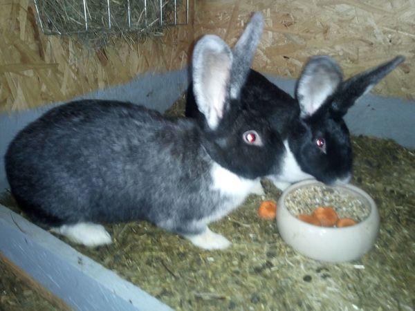 Kaninchen zu verkaufen Häsinnen 10