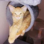 Wunderschöne BKH-Cornish Rex Kitten
