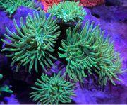 Meerwasser Koralle Mini Anemone