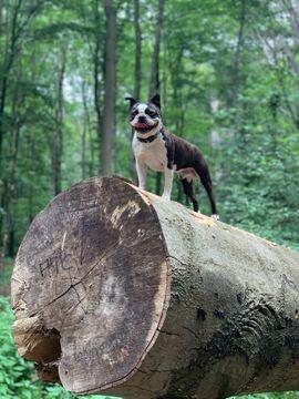 Gesunde Deckrüde Boston Terrier: Kleinanzeigen aus Burgdorf - Rubrik Hunde