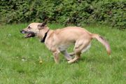 Rocky - Dackel-Terrier-Malinois-Mix