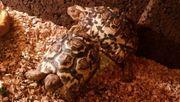 2 Pantherschildkröten pärchen