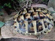 Griechisches Schildkröten Weibchen von 2010