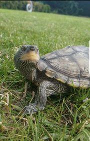 Falsche Landkartenschildkröte