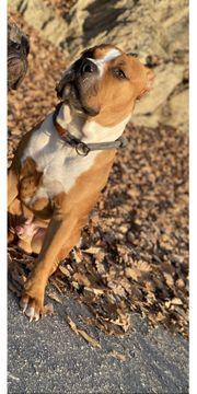 Deckrüde American Staffordshire Terrier OEB