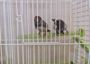 1 Pärchen Zebrafinken