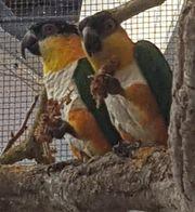 weisbauch papageien