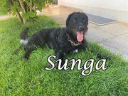 Junghund Sunga sucht ihr Zuhause