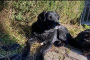 Verschmuster Labrador Mix Champange