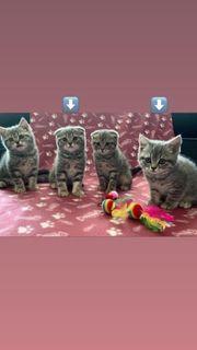 2 BKH Kitten reinrassig auszugsbereit