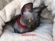 Canadien Sphinx Kitten Abgabebereit Sphynx